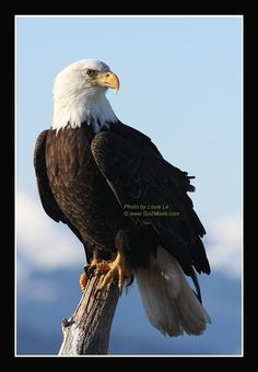 The American Bald Eagle * on Pinterest | 42 Pins