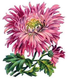 *The Graphics Fairy LLC*: Vintage Image - Pink Chrysanthemum Graphics Fairy, Botanical Flowers, Botanical Prints, Decoupage, White And Pink Roses, Illustration Blume, Flowers Today, Images Vintage, Vintage Flowers