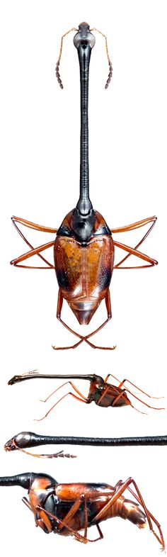 Diatelium wallacei Scaphidiidae (staphilinoidea)