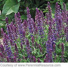 Salvia nemorosa 'New Dimension Blue' Perennial that blooms blue-violet flowers in early to midsummer Full sun Size 14 -18 inches tall, 18-24 inches wide Cold-hardy USDA zones 4-8