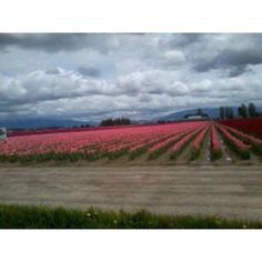Anacortes WA, tulip fields I miss Anacortes Washington, Wa State, Tulip Fields, Washington State, Pacific Northwest, North West, West Coast, Tulips, Seattle