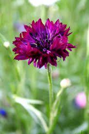 Centaurea ruiskaunokki, kukka