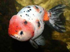 Ranchu Goldfish, Carassius auratus, Fancy goldfish, goldfish Care ...