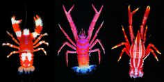 The squat lobster is a radiant creature that inhabits nearly every ocean on the globe and scientists are finding more and more every year!