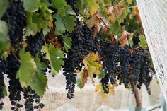 wine grapes - Google Search