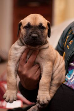Cute Puppy - Boerboel - South African Mastiff - Zoar Boerboels Kennel - Gallery