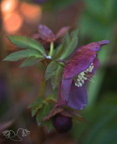 helleborus flowerhat
