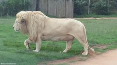 is home to more than 85 lions, including the rare white lions. White Lions, Africa, Tours, Horses, Park, Animals, Animales, Animaux, Parks
