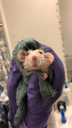 Meredith enjoying a post-bath towel rub. #aww #cute #rat #cuterats #ratsofpinterest #cuddle #fluffy #animals #pets #bestfriend #ittssofluffy #boopthesnoot