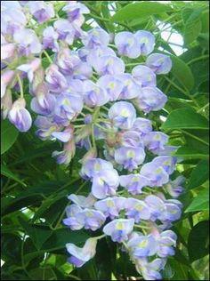 blue moon wisteria