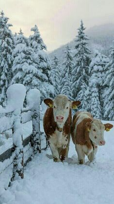 stay warm and know warmer weather is coming! Good Night Friends, Sleep Tight, Stay Warm, Sweet Dreams, Insta Pic, Cow, Seasons, Country, Winter