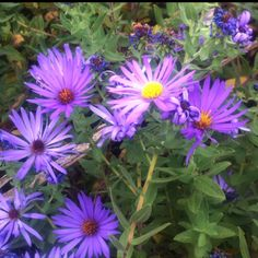 Aster. The flower for September birthdays