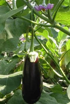 I have placed here our personalselection of mini vegetables suitable for small gardens or container growing. Vegetable Pictures, Small Gardens, Fruits And Vegetables, Country Life, Eggplant, Seeds, Green, Gardening, Flower