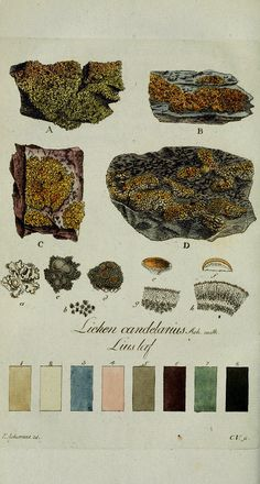 "Lichen botanical drawing - A personal color atlas from British artist William Gilpin His sketchbook titled ""Hints to Form The Taste & Regulate Ye Judgement in Sketching Landscape"" is from Science Illustration, Nature Illustration, Botanical Illustration, Medical Illustrations, Tag Art, Nature Plants, Nature Journal, Color Studies, Botanical Prints"