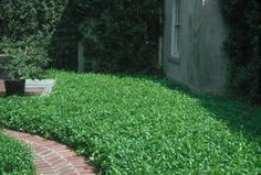 Asian Jasmine -- Neil Sperry favorite for ground cover in sunny area of North Texas.