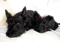 my first black furry dog was a scottie