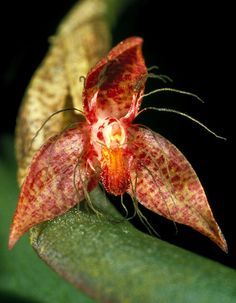 Bulbophyllum johannuli. This rare member of the Epicrianthes section is found only in the Bismarck archipelago in PNG.   Photo Credit: Peter Jongejan