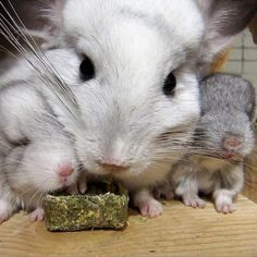 chinchilla family!!!