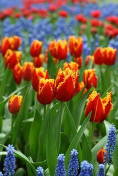 #Flowers | #flower | #Tulips Keukenhof by Taniuszka on Flickr.