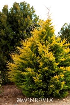 Gold Rider Leyland Cypress -   Cupressus leylandii 'Gold Rider'. Considered one of the best golden conifers. Its open, horizontal branching structure is covered with dense, bright gold-tipped needle-like sprays, contrasting with lime green interior foliage. A single plant makes a bright focal point in the garden, or plant en masse as an eye-catching hedge. Suitable for shearing to provide a more formal appearance. Best in well-drained soil. Upright grower to 35 ft. tall, 15 ft. wide.