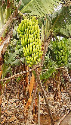 aper u d 39 un bananier arbres fruitiers pinterest fruitier jardins et jardinage. Black Bedroom Furniture Sets. Home Design Ideas