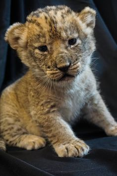 """The Pueblo Zoo recently announced the arrival of three """"precocious, bundles of joy"""". African Lioness, Mashavu, gave birth to the two females and one male on October The trio was sired by Taz Jahari (father of Pueblo Zoo's 'Mumford'). Cute Baby Animals, Animals And Pets, Big Cat Family, African Cats, Zoo Photos, Gato Grande, My Animal, Animals Beautiful, Cats And Kittens"""
