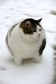 Image result for very rotund cats
