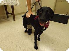 Rome, GA - Labrador Retriever Mix. Meet 15D-1472 (8/29), a dog for adoption. http://www.adoptapet.com/pet/13728930-rome-georgia-labrador-retriever-mix