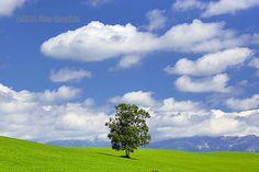 美瑛「絵本の木」