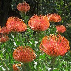 LEUCOSPERMUM cordifolium Special Flowers, All Flowers, Orange Flowers, Beautiful Gardens, Beautiful Flowers, Flowers Australia, Atelier D Art, Small Greenhouse, Thing 1