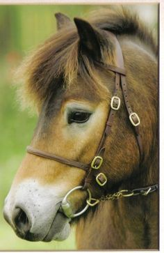 A beautiful Exmoor Pony  - from the Exmoor Pony Society