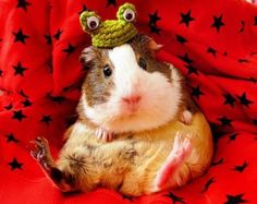 New life goal: Start a business crocheting hats for guinea pigs.