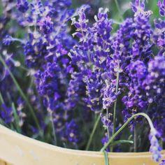 My favorite...  #lavender #dreamingofsummer #fragrant #scent #beautiful #herb #flowers #blooms #instablooms #lovely #mygarden #garden #gardens #gardening #gardenlovers #nature #naturelovers #medicinal #organic #urbangardenersrepublic #growsomethinggreen #loveit #instagardeners_feature #epicgardening