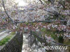 京都 哲学の道 桜 2012/04/15