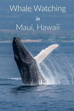 Planning a trip to Maui, Hawaii? Do a Maui whale watching tour to see breaching humpback whales, dolphins, and other sea life up close and personal! Pin this post to save the kinds of whale behaviors and stunning landscapes that you'll see on a Maui whale watch tour.
