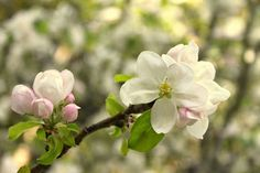 These apple blossoms are from the apple trees that were planted by my great grandmother some 70 plus years ago! They are in front of The Cottage but planted long before the house was even built! They are still going strong all these years later. Several of our lucky guests get to savor them before the birds do!