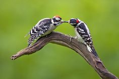 Identifying Downy & Hairy Woodpeckers - Figure out which woodpecker is which with these expert tips.