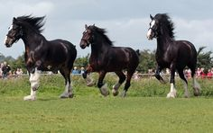 Wadworths Brewery Shire Horses Start Their Annual Fortnight Holiday