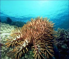 The infamous crown-of-thorns starfish grows to over a foot across and has 10-20 arms. It is well known for its voracious appetite for live hard-corals.