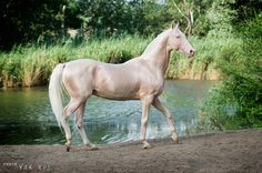 Stunning  The Akhal Teke horse The most rare horse breed Want one so bad