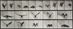muybridge_eagle