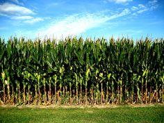 8 x 10 Photograph Corn Corn Field of Memories Indiana by msvicwaas, $25.00