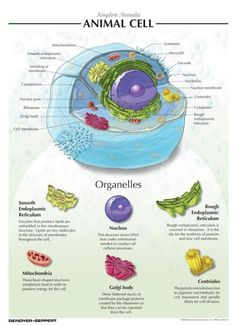 The 202 best plant cell school project images on pinterest denoyer geppert animal cell chart frey scientific ccuart Image collections