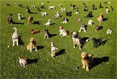 """CONVIVENDO COM SEU CÃO!  Um cão """"rebelde"""", na verdade está apenas querendo que sejamos um líder de fato...  BLOG Canil Pedra de Guaratiba Artigos http://pet-eshop.blogspot.com.br/2015/09/convivendo-com-seu-cao.html #blogcanilpedradeguaratibaartigos #blogcanilpedradeguaratibaartigosconvivendocomseucao #blogcanilpedradeguaratibaartigosalidernçadamatilha #canilpedradeguaratibaartigoseducandoseucachorro #canilpedradeguaratibaartigosamatilha #canilpedradeguaratibaartigoscomportamento"""
