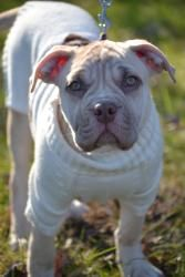 Winnie is an adoptable American Staffordshire Terrier Dog in Bloomfield, CT. Winnie, Webster and Wilson were owner surrendered.  When they arrived at our foundation, they were emaciated, infested with...