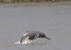 ganges-river-dolphin