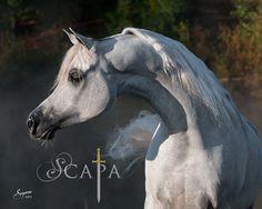 Pure Egyptian Arabian Stallion