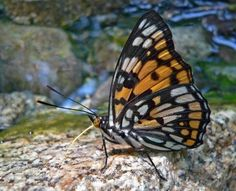 Rare butterfly (Sephisa dicroa princeps) on a stone. Male. Profile. South of Russian Far East.