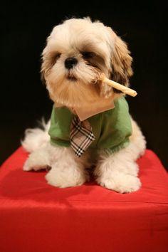 Shih Tzu Dogfather