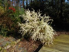 Spirea 'Ogon' - early white flowers, almost like a waterfall.  One of the first shrubs to flower.